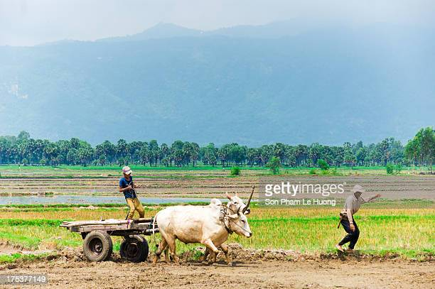 CONTENT] Men and boy drive a cow cart on the rice field in Chau Doc town An Giang province Vietnam on May 30 2013