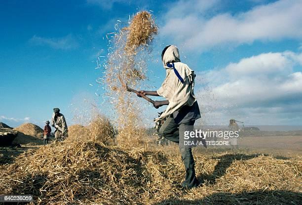 Men busy threshing wheat Menz Ethiopia