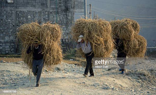 CONTENT] 3 men carry hay bales in between fields in rural farm lands of Pokhara Nepal