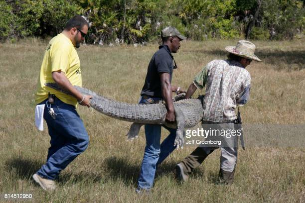Men carrying an alligator at the Big Cypress Shootout event at Billie Swamp Safari