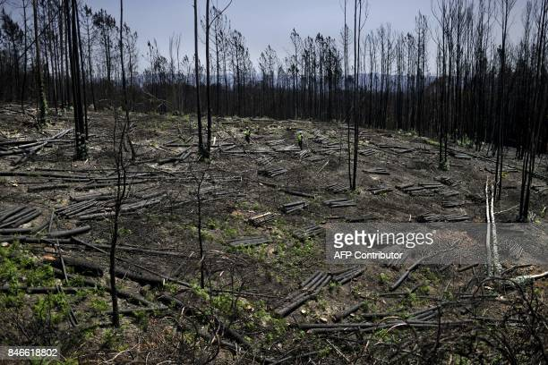 Men chop charred trees in a burnt forest in Castanheira de Pera on August 9 2017 Broken lives ruined houses and burnt forests After the deadly fire...