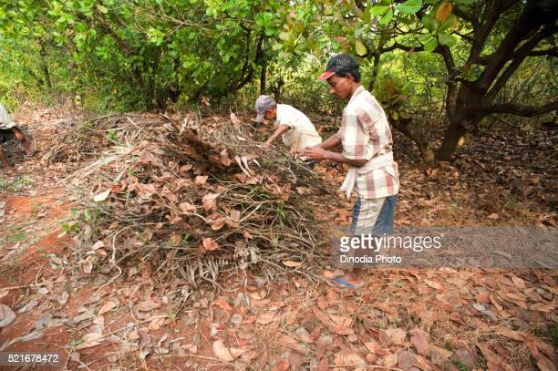 Men collecting sticks and twigs, Konkan, Maharashtra, India