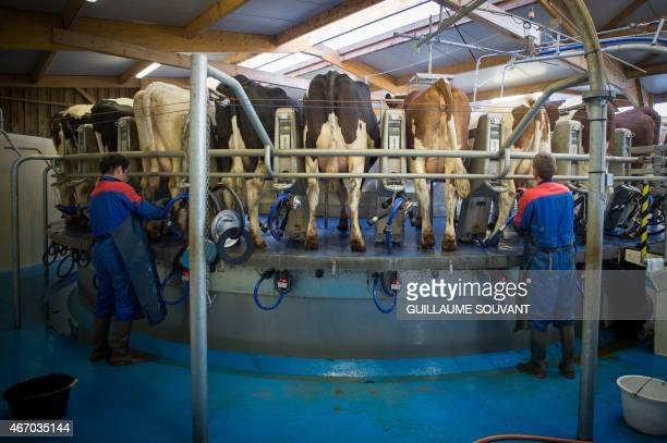 Men connect cows to a rotative milking robot in a dairy farm on March 18 2015 near Niort eastern France Thirty years after introducing quotas to...
