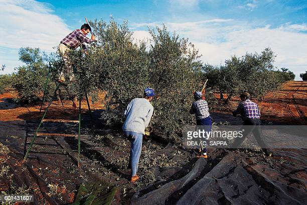 Men during the olive harvest near Jaen Andalusia Spain