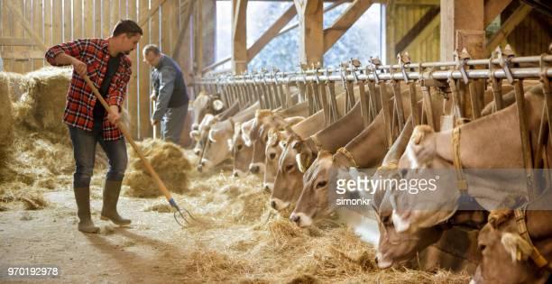 hombres pasto seco de alimentación a las vacas - un animal fotografías e imágenes de stock