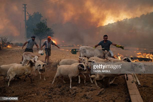 Men gather sheeps to take them away from an advancing fire on August 2, 2021 in Mugla, Marmaris district, as the European Union sent help to Turkey...