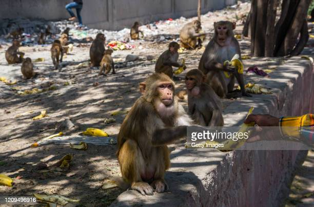 Men give bananas to monkeys gathered on the side of the road as India remains under an unprecedented lockdown over the highly contagious coronavirus...