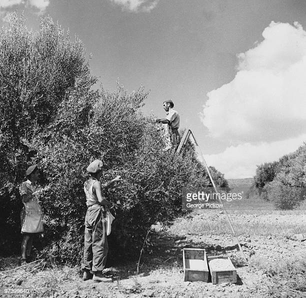 Men harvesting olives in a grove in the Negev region of Israel circa 1950