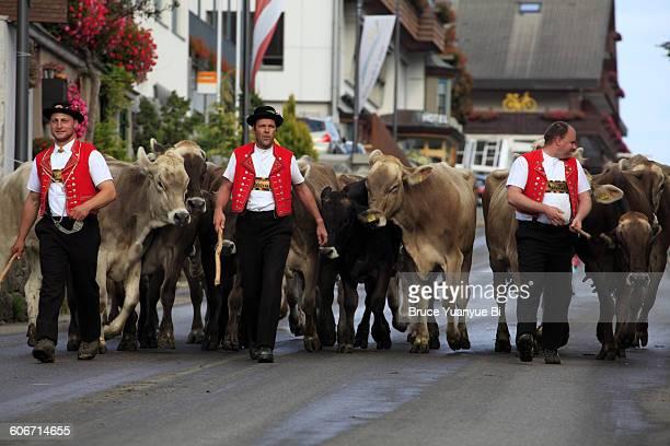 Men in traditional costumes herding alpine cows