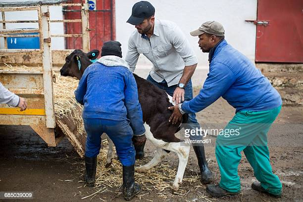 Men loading a calf on trailor