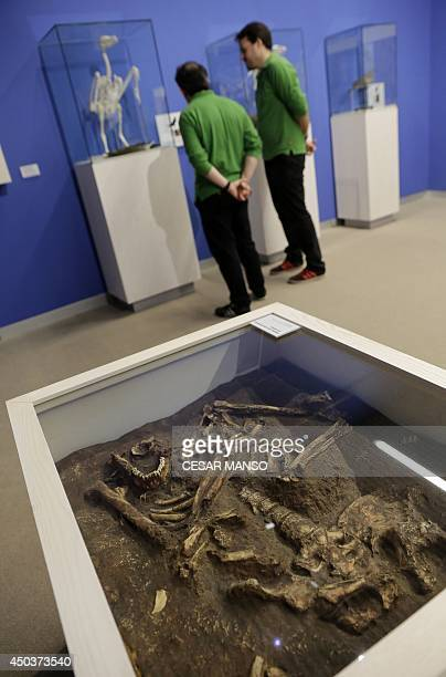Men look a scientificly based impression of the skeleton of a Neanderthal who lived some 50,000 years ago by Italian scientist Fabio Fogliazza during...