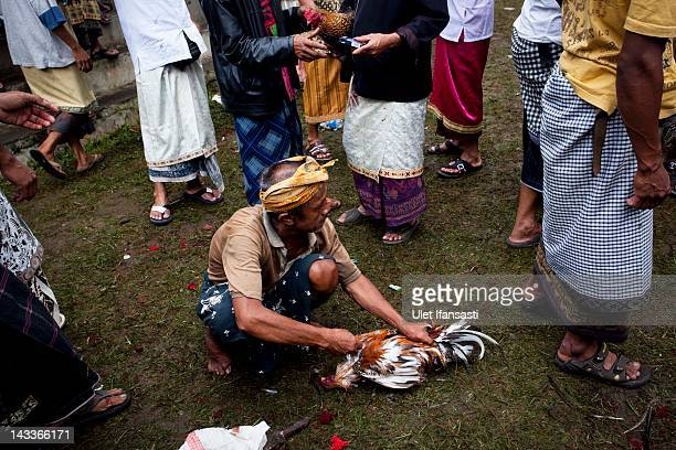 Men look for dead roosters to be cleaned after the cockfights as they are able to get a leg or feathers from the roosters that they clean during the...