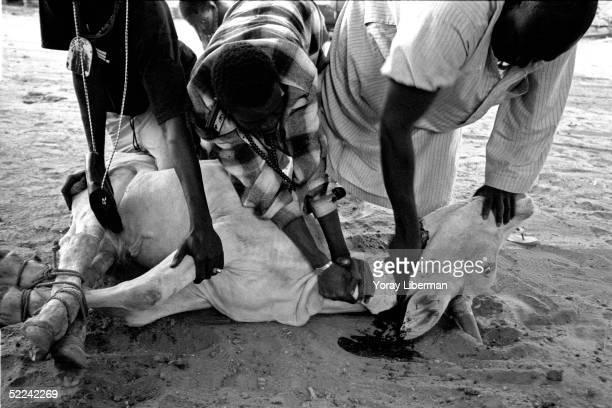 Men of the family make a sacrifice for the Magal De Touba April 21 2003 in Mbake Senegal The Mouride Baye Fall community in Senegal celebrates the...