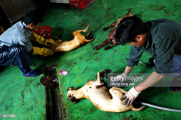 Men prepare dead dogs in a dog slaughterhouse October 10 2003 in DongAm west of Seoul South Korea A South Korean nutritionist who boasts scores of...