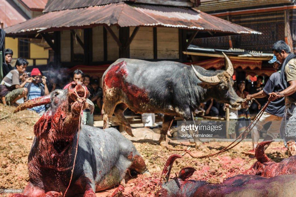Bizarre Funeral Rites of the Tana Toraja : News Photo