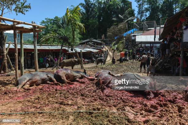 Men sacrificing water buffalos for the traditional funeral celebration of an old Tana Toraja woman The richer was the deceased the more buffalos will...