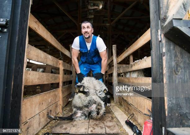 Men shearing sheep