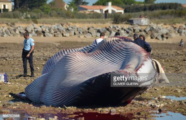 Men stand next to the carcass of a stranded fin whale at the beach of ArsenRe Pointe de Grignon on Ile de Re island western France on October 25 2017...