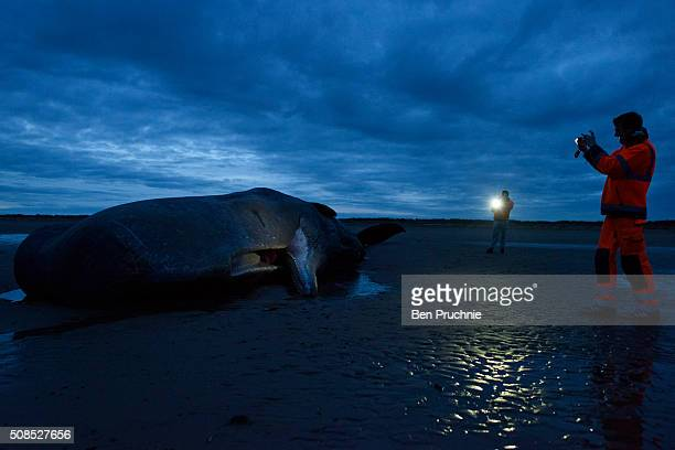 Men take a photograph as a sperm whale lies dead after becoming stranded on a beach between Old Hunstanton and Holme on February 5 2016 in Hunstanton...