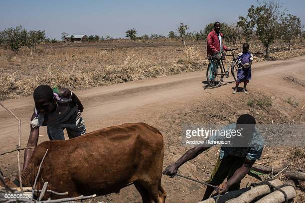 Men try to direct a cow which ran off the road in the village of Masale which lies in one of the areas most affected by drought on September 10 2016...