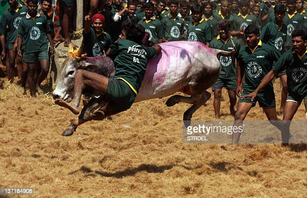 Men try to tame a bull at a traditional bull taming festival called 'Jallikattu' in Palamedu near Madurai arround 500km south of Chennai on January...
