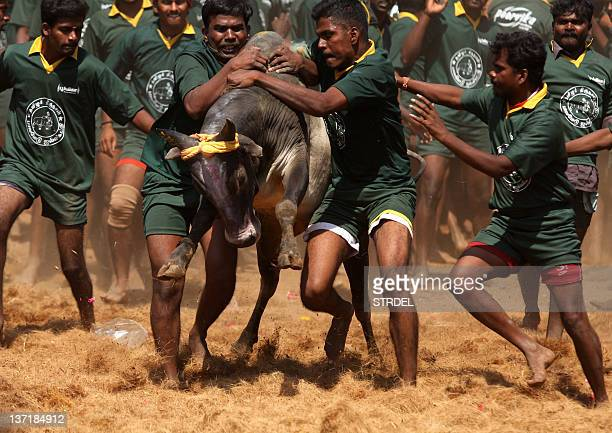 Men try to tame a bull at a traditional bull taming festival called Jallikattu in Palamedu near Madurai arround 500km south of Chennai on January 16...