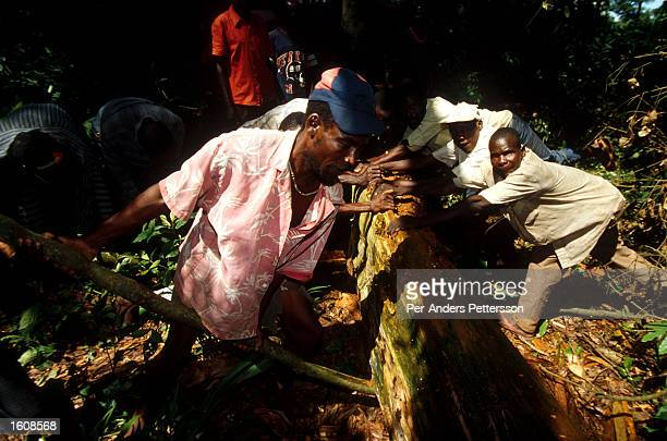Men work as loggers in the rainforest April 10 in Kikwit The Democratic Republic of Congo Kikvit was the center of an Ebola outbreak in 1995 where...