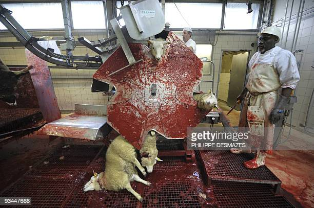 Men work at an automated sheep slaughter line on November 27 2009 at Corbas slaughterhouse near Lyon eastern France The religious holiday Eid alAdha...