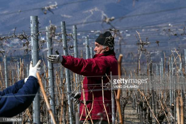 Men work on vines at a vineyard in Saguramo some 40 km west of Tbilisi on March 11 2019 as Georgia claiming to be the first nation to make wine...