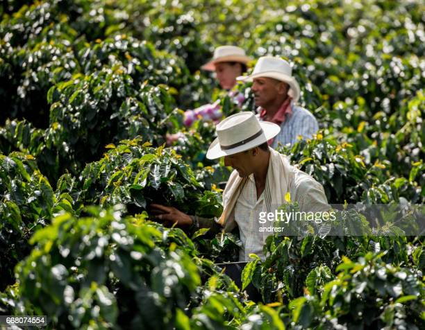 Men working at a coffee farm collecting coffee beans
