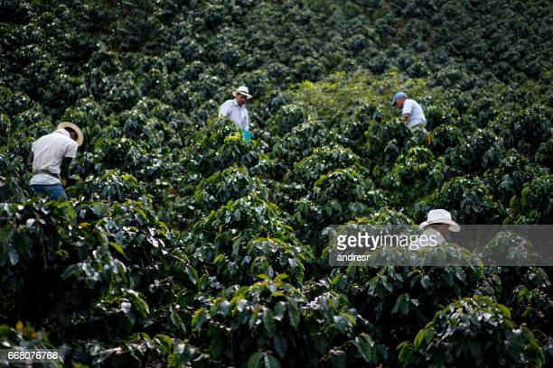Men working at a coffee farm harvesting the crop