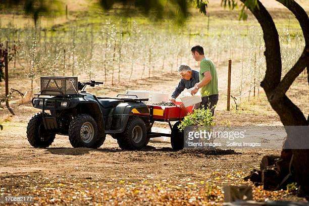 Men working in olive grove