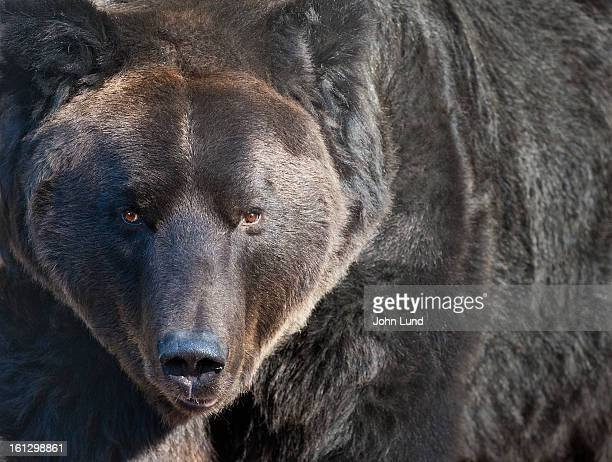 menacing black bear - bear market stock pictures, royalty-free photos & images