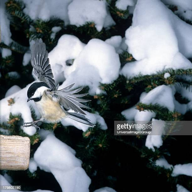 Mendota Heights Blackcapped Chickadee flying with snowy background