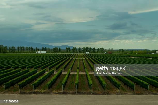 Mendoza vinyard