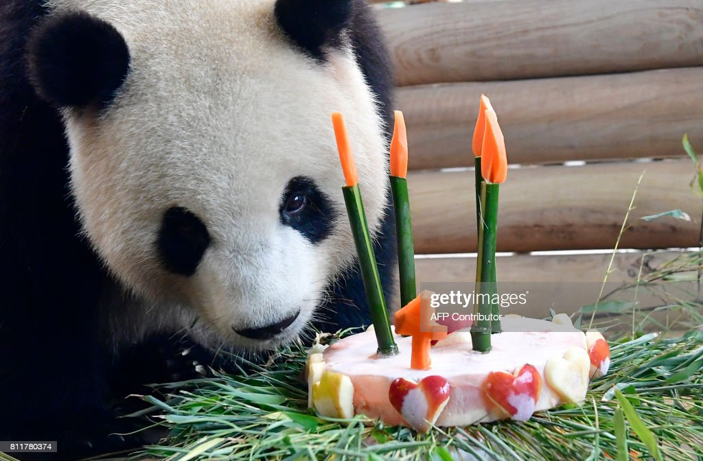 Meng Meng, one of two Chinese panda bears in the zoo Berlin receives a birthday-cake to mark its fourth birthday in the enclosure at the Zoologischer Garten zoo in Berlin on July 10, 2017. /