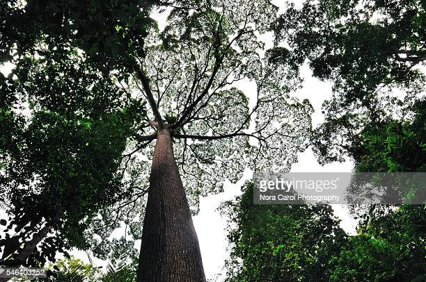menggaris dipterocarp trees patterns - dipterocarp tree stock pictures, royalty-free photos & images