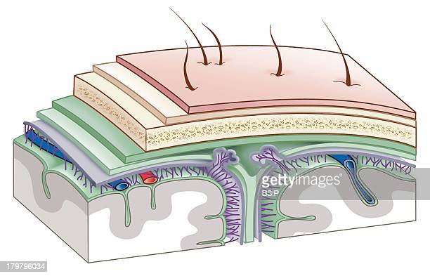 Meninges Drawing