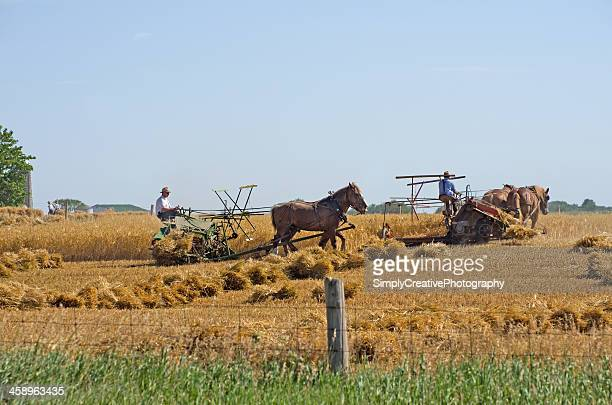 Mennonite Farmers Harvesting Wheat
