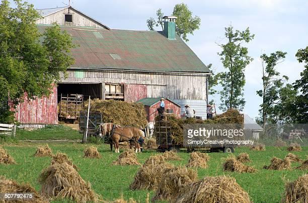 Mennonite Wheat Harvesting