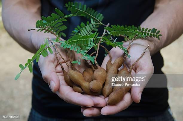 Men´s hands holding homegrown tamarinds