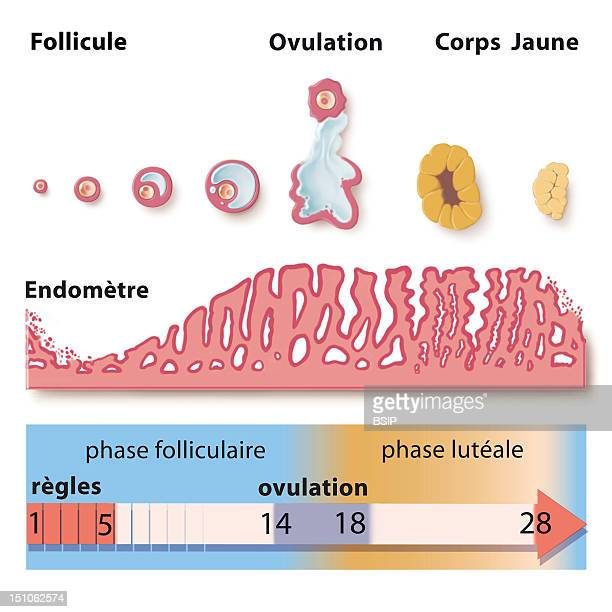 Menstrual Cycle Paralleling The Ovarian Cycle At The Top With The Cycle Of The Endometrium Evolution Of The Uterine Mucous Membrane In The Middle And...