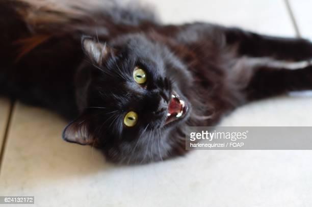 Meowing black cat