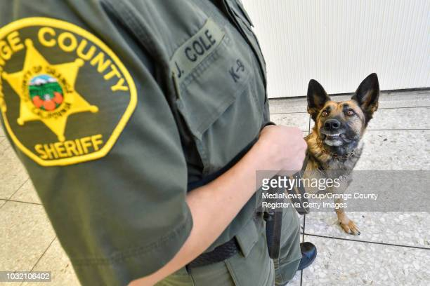 Mercy, a 3 year old Belgian Malinois/German Shepherd mix, looks to her partner, Orange County Sheriff Deputy Jennifer Cole, for instructions as they...