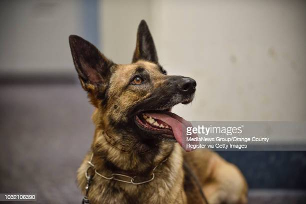 Mercy a 3 year old Belgian Malinois/German Shepherd mix waits for her partner Orange County Sheriff Deputy Jennifer Cole as they prepare to inspect...