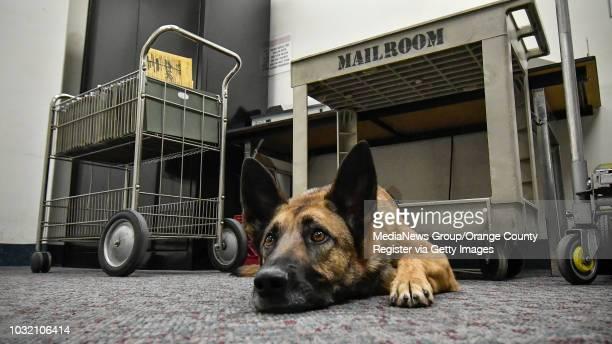Mercy, a 3 year old Belgian Malinois/German Shepherd mix, waits for her partner, Orange County Sheriff Deputy Jennifer Cole, as they prepare to...