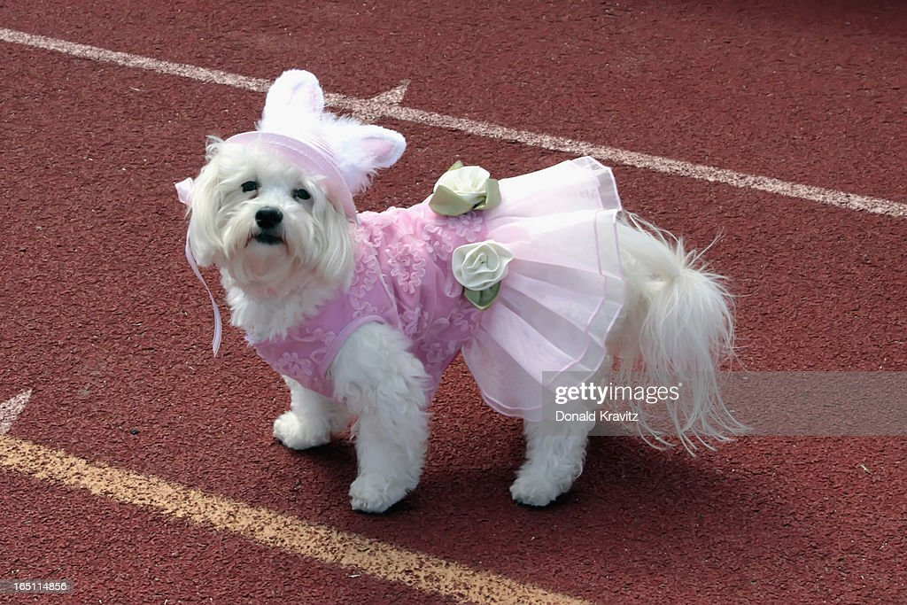 Mercy a Bichon-Shih Tzu, attends the Woofin Paws pet fashion show at Carey Field on March 30, 2013 in Ocean City, New Jersey.