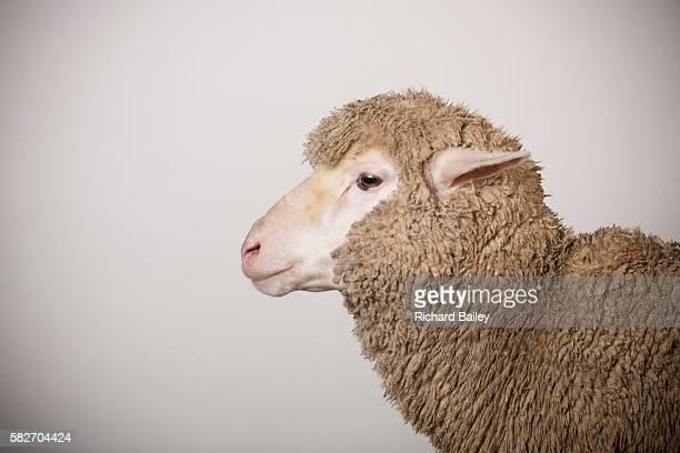 merino ewe - sheep stock pictures, royalty-free photos & images