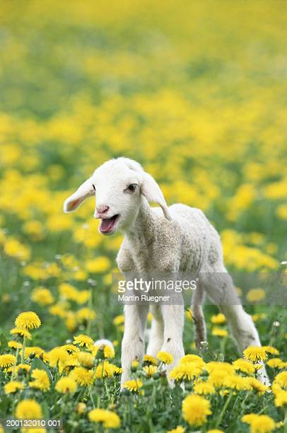 merino lamb (ovis aries) bleating in field - 子羊 ストックフォトと画像