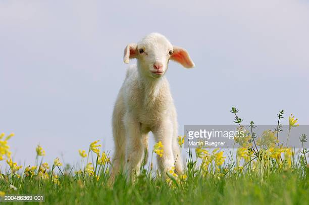 merino lamb (ovis aries) in meadow - feuille de pissenlit photos et images de collection